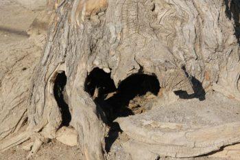ریشه درخت پیر