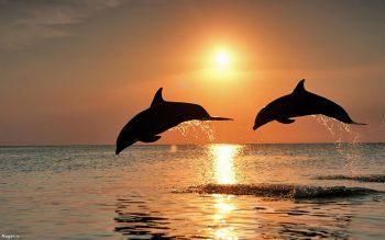 تصویر دلفین در غروب