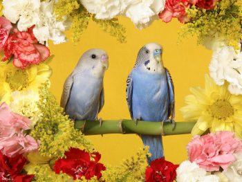 تصویر زوج طوطی