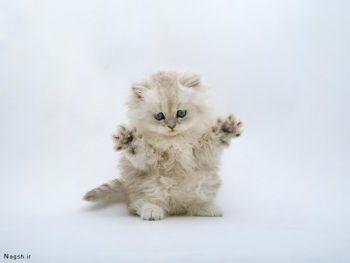 تصویر گربه کوچولو پشمالو
