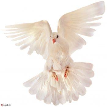 کبوتر سفید