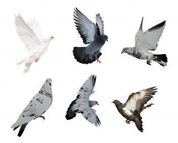 کبوتر در حال پرواز