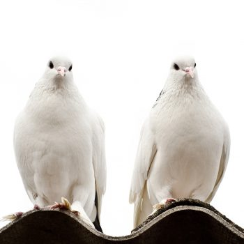 کبوتر نشسته