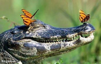 تمساح و پروانه ها