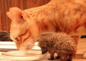 گربه و جوجه تیغی