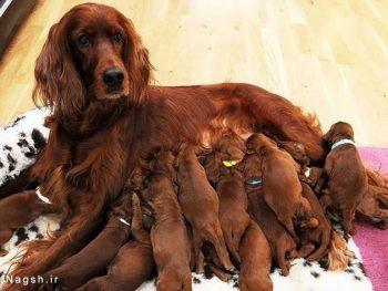مادر و توله ها