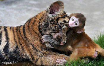 میمون بازیگوش و ببر