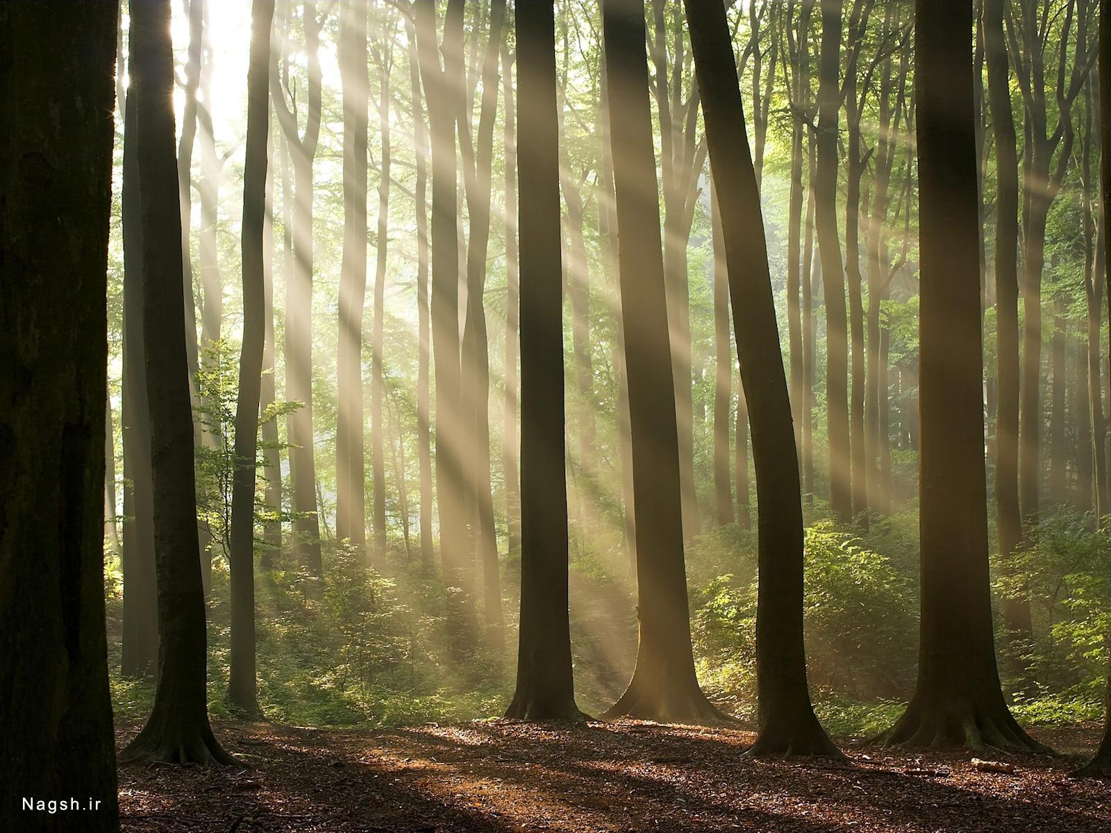 شعاع آفتاب در جنگل
