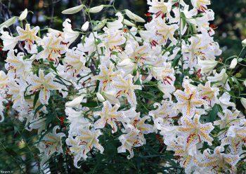 بوته گل سفید