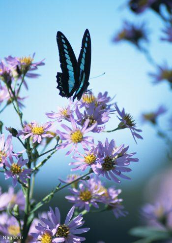 پروانه بر گل