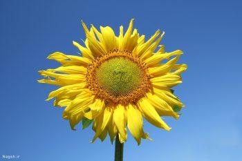 یک شاخه گل آفتاب گردان