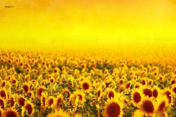 باغ آفتاب گردان