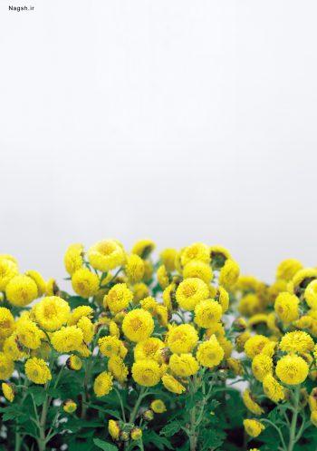 گلهای زرد