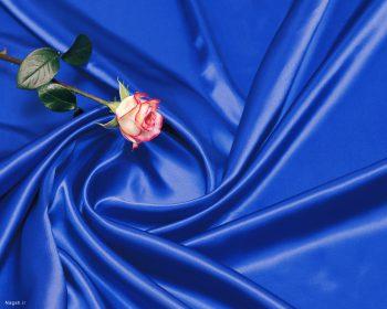 یک شاخه گل رز قرمز بر روی صفحه آبی