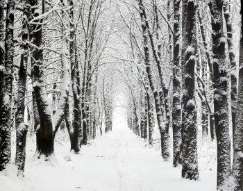 درختان زیر برف
