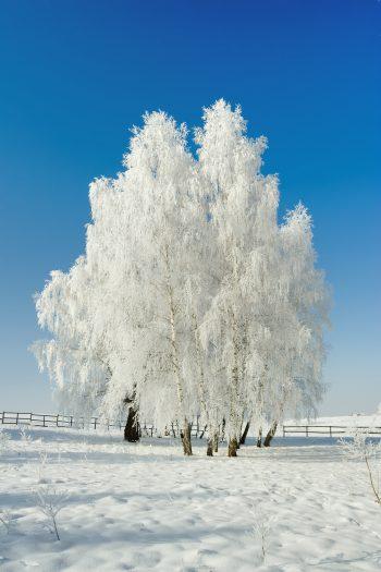 درختان سفید پوش