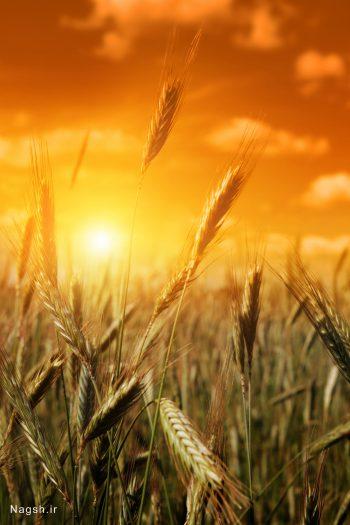 غروب در گندم زار