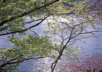 درختان کنار رود