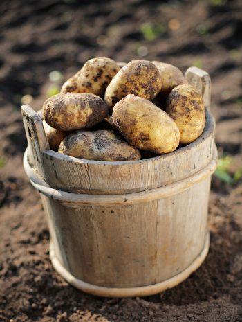 برداشت سیب زمینی از خاک