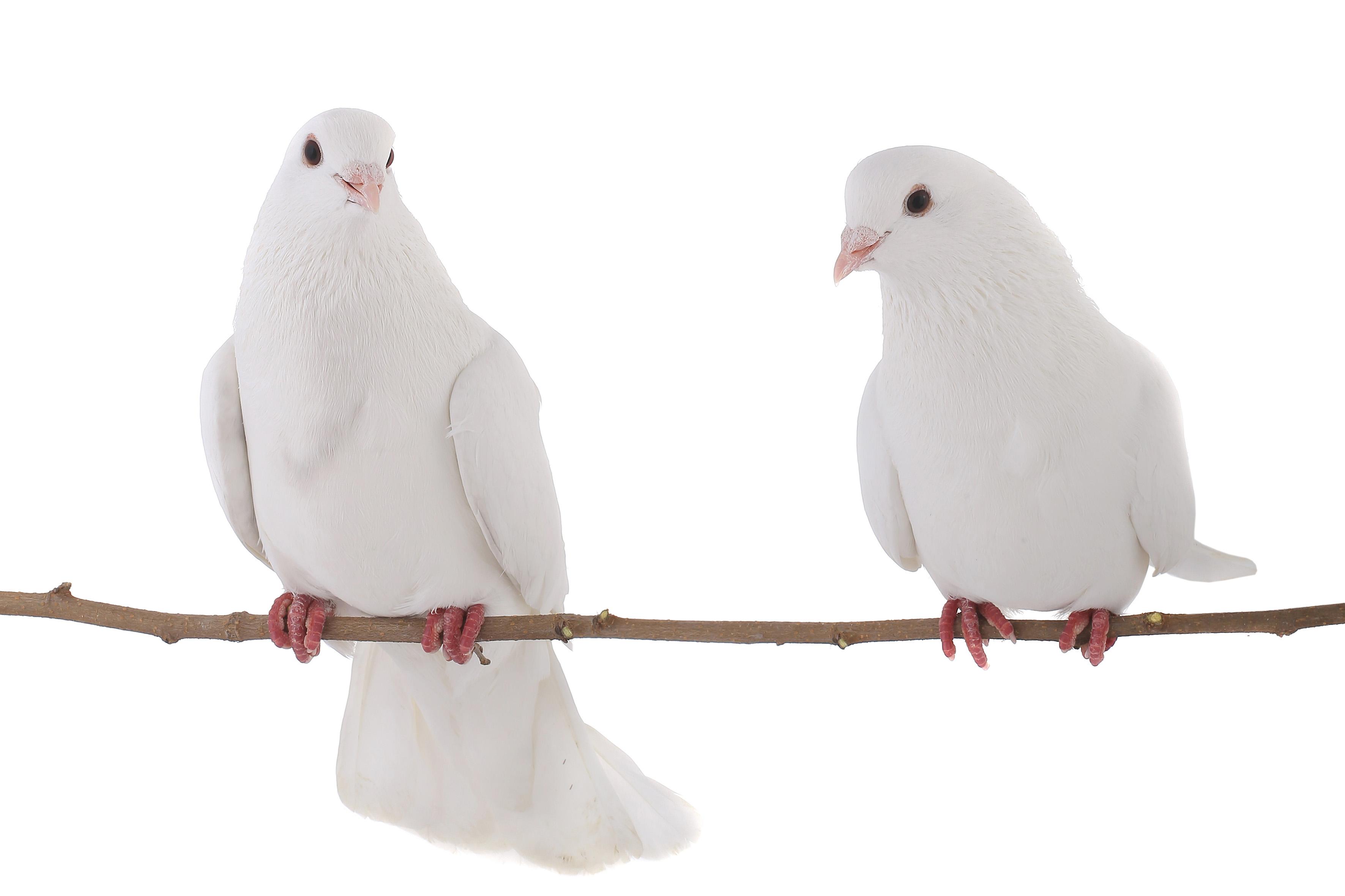 دو کبوتر نشسته روی شاخه