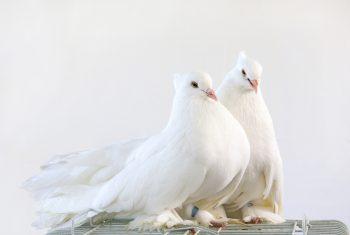 دو کبوتر سفید