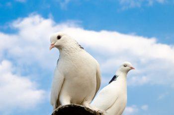 دو کبوتر نشسته