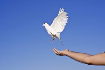 کبوتر روی دستان انسان