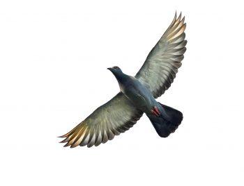 کبوتر با بال های باز شده
