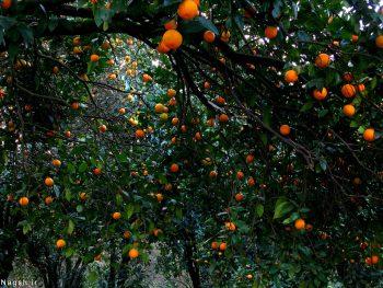 درخت های نارنج لنگرود