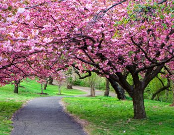 درخت با شکوفه های بهاری